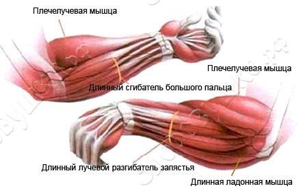 rabochie_myshcy_kisti_zdorovushka.jpg